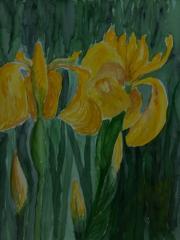 Gelbe-Schwertlilien-2015-36x48-Aquarell