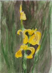 Gelber-Schwertlilie-2012-15x21-Aquarell