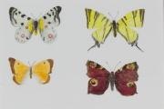 Schmetterlinge-2012-20x30-Aquarell